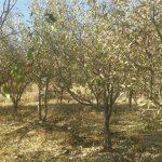 ۱۷۰۰ هکتار از باغهای شهرستان شهریار در ۷ سال گذشته از بین رفته است