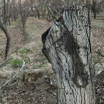 باغ های به یغما رفته ی کشاورزان شهریاری